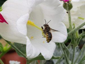 Was summt denn da? - Bienenwanderung in der Bornimer Feldflur @ Tram Haltestelle Potsdam Rote Kaserne