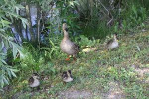 Ente gut, alles gut - Wanderung zum Entenbraten @ Potsdam