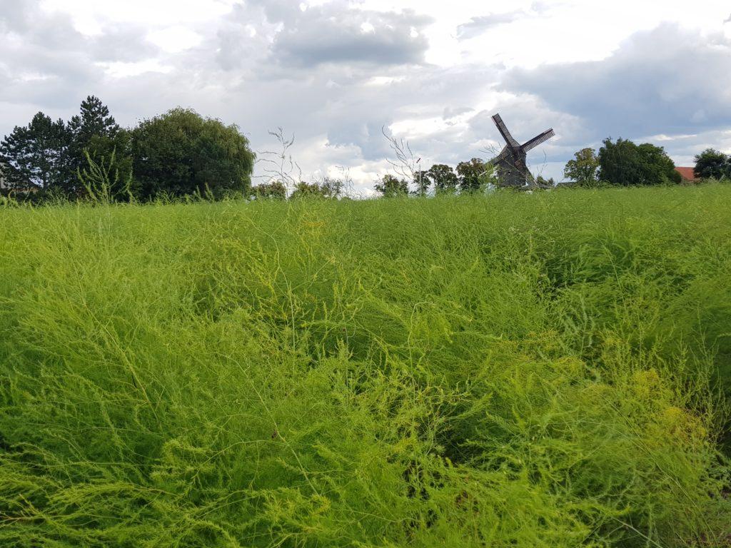 Bockwindmühle in Beelitz